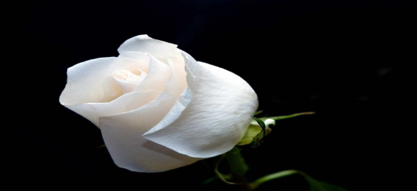 white rose pic